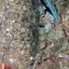 沖縄本島のダイビングで撮影したミナミウシノシタの水中写真