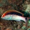 沖縄本島のダイビングで撮影したバラハタ(幼魚)の水中写真