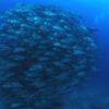粟国島のダイビングで撮影したギンガメアジの水中写真