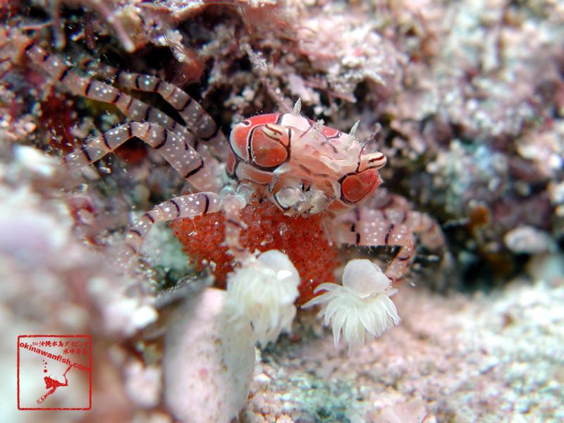 沖縄本島のダイビングで撮影したキンチャクガニの水中写真