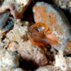 スベスベオトヒメエビ属の1種