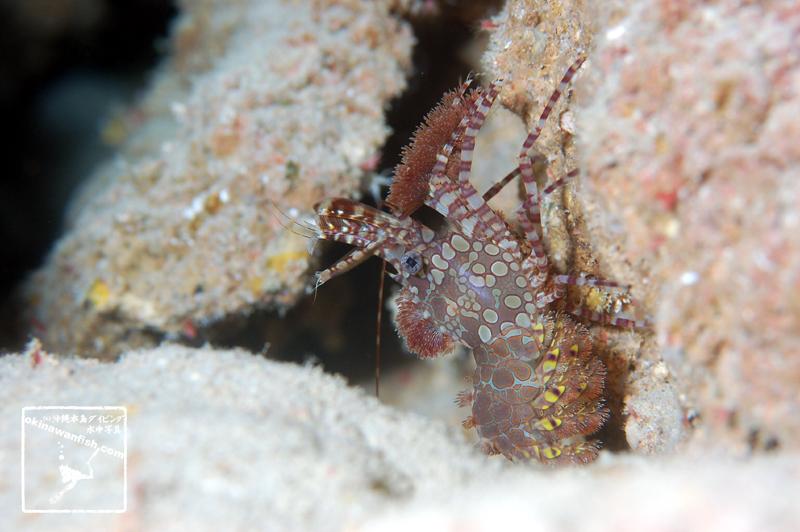 沖縄本島のダイビングで撮影したサンゴモエビの仲間の水中写真