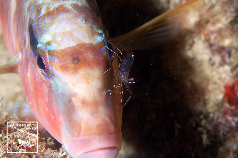 沖縄本島のダイビングで撮影したソリハシコモンエビの水中写真