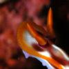 沖縄本島のダイビングで撮影したサビウライロウミウシの水中写真
