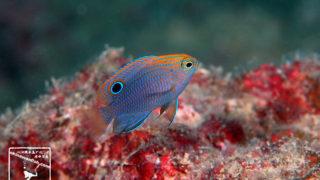 沖縄本島のダイビングで撮影したクロメガネスズメダイ幼魚の水中写真