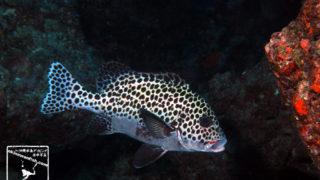 沖縄本島のダイビングで撮影したチョウチョウコショウダイ成魚の水中写真
