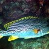沖縄本島のダイビングで撮影したアヤコショウダイの水中写真