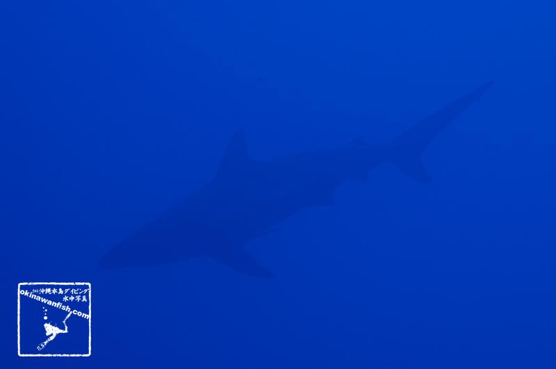 沖縄本島のダイビングで撮影したカマストガリザメの水中写真