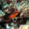 沖縄本島のダイビングで撮影したニシキキュウセンの水中写真
