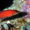 沖縄本島のダイビングで撮影したヒメニセモチノウオの水中写真
