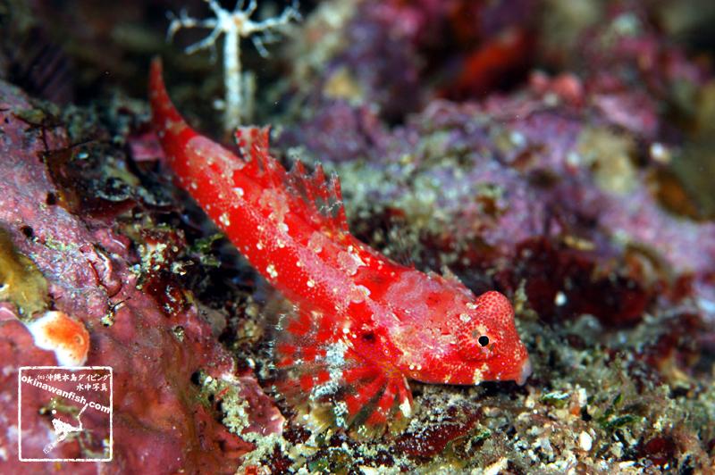 沖縄本島のダイビングで撮影したミヤケテグリの水中写真