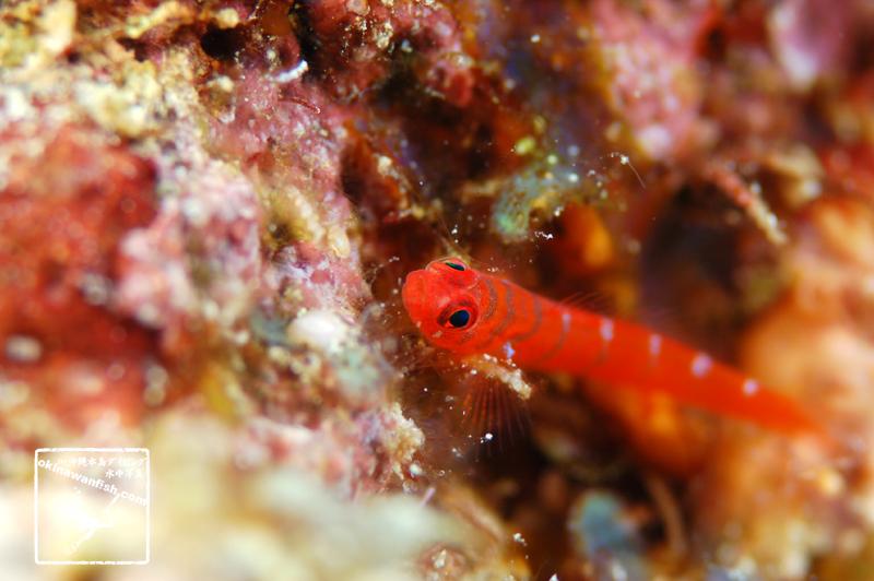 沖縄本島のダイビングで撮影したシマイソハゼの水中写真