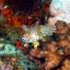 沖縄本島のダイビングで撮影したノドグロベラ幼魚の水中写真