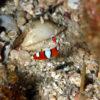 沖縄本島のダイビングで撮影したツユベラ幼魚の水中写真