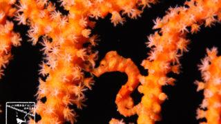 沖縄本島のダイビングで撮影したロングノーズ・ピグミーシーホースの水中写真(25mm TL)