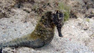 沖縄本島のダイビングで撮影したクロウミウマの水中写真(8cm TL)