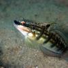 沖縄本島のダイビングで撮影したサラサハゼの水中写真(8cm SL)