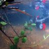 沖縄本島のダイビングで撮影したヒメツバメウオygの水中写真(1.5cm TL)