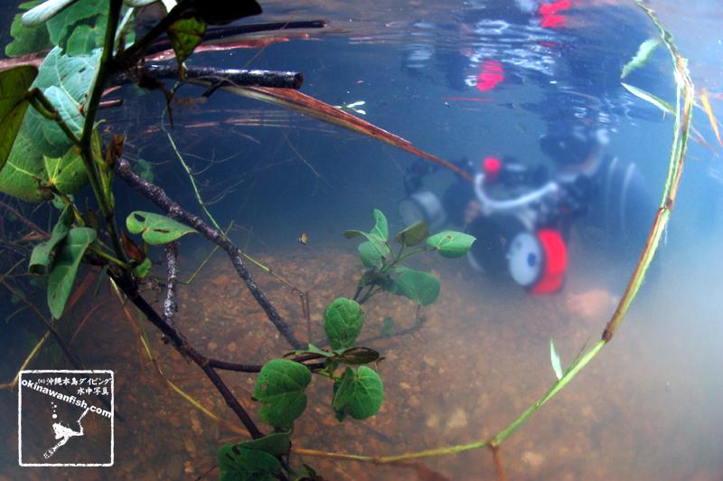 沖縄本島の河川で撮影したヒメツバメウオygの水中写真(1.5cm TL)
