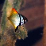 ヒメツバメウオ幼魚