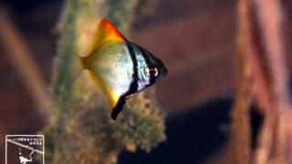 沖縄本島のダイビングで撮影したヒメツバメウオ(幼魚)の水中写真(1.5cm TL)