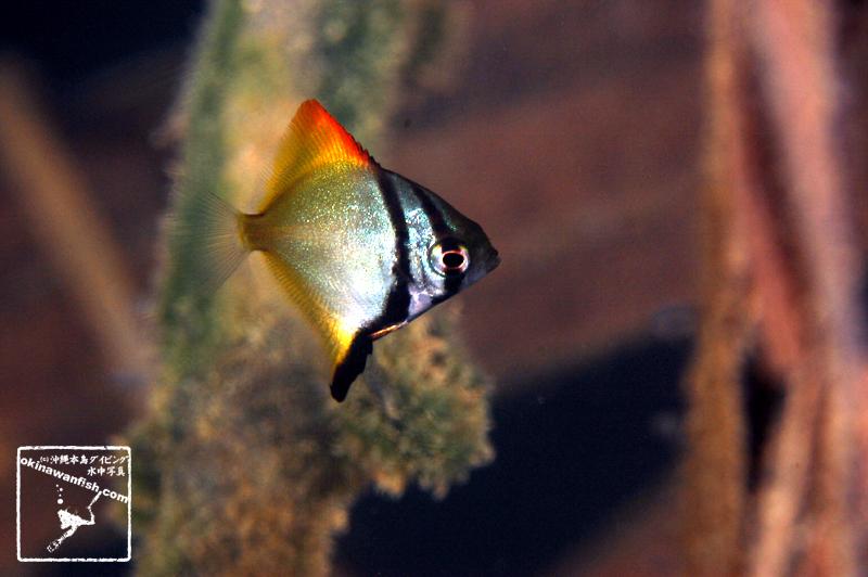 沖縄本島の河川で撮影したヒメツバメウオ(幼魚)の水中写真(1.5cm TL)
