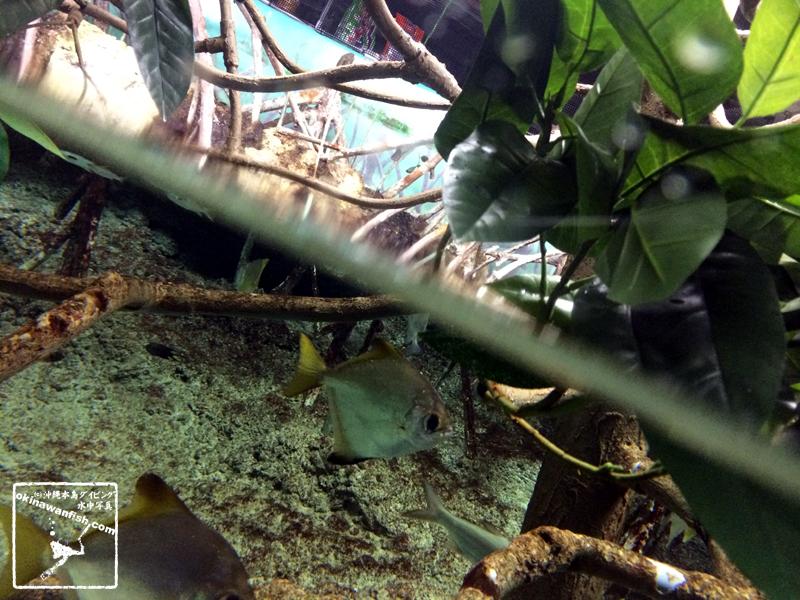 沖縄本島のダイビングで撮影ヒメツバメウオの水中写真(8cm TL)