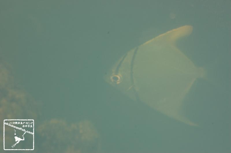 沖縄本島の河川で撮影ヒメツバメウオの水中写真(8cm TL)