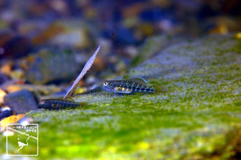 沖縄本島のダイビングで撮影した ナガノゴリ 幼魚 の水中写真(2cm SL)