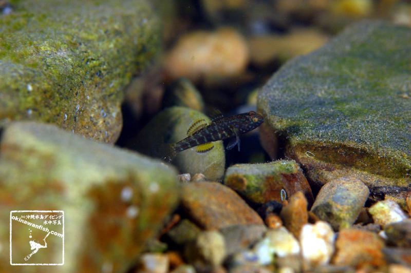 沖縄本島の河川で撮影した ナガノゴリ 幼魚 の水中写真(2cm SL)