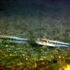沖縄本島の河川で撮影した ナガノゴリ若魚 の水中写真(6cm SL)