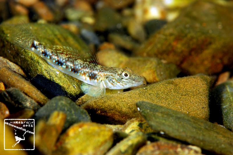 沖縄本島の河川で撮影した ゴクラクハゼ の水中写真(5cm SL)