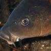 沖縄本島の河川で撮影した 鯉 ( コイ ) の 水中写真