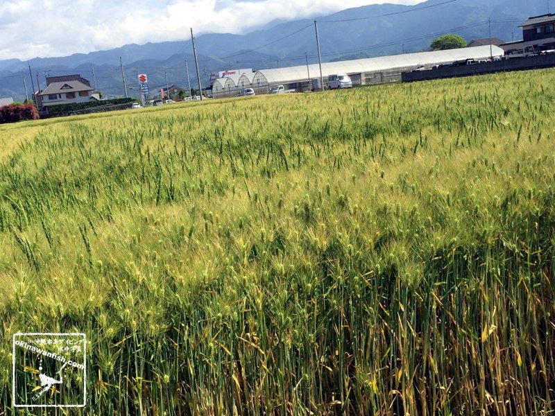 2017 ゴールデンウィーク 家族旅行 愛媛県 今治市 裸小麦