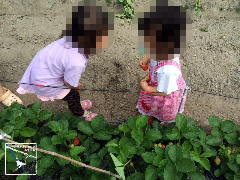 2017 ゴールデンウィーク 家族旅行 愛媛県 今治市 庭のいちご畑