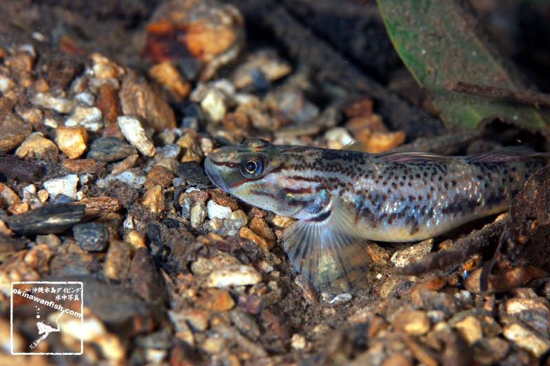 沖縄本島 東海岸 河川 撮影 クロヨシノボリ 水中写真 ( 5cm SL )