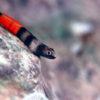 沖縄本島 河川 で 撮影した アカボウズハゼ 雄 婚姻色 の 水中写真 (4cm SL)