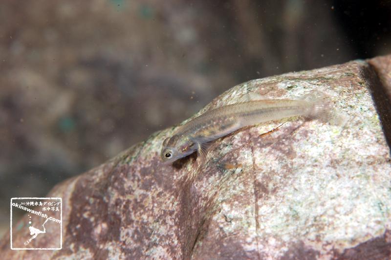 沖縄本島 河川 で 撮影した  アカボウズハゼ 雌  の 水中写真 (4cm SL)