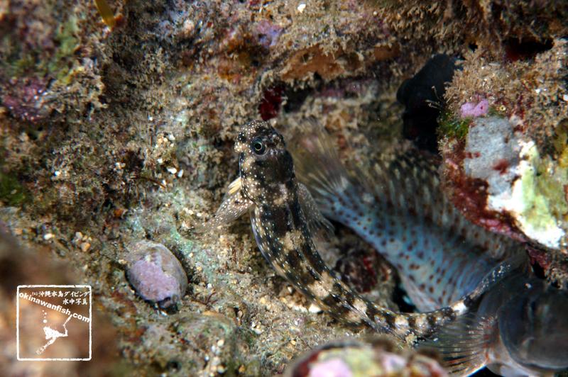 沖縄本島 タイドプール で撮影した タマギンポ の 水中写真 ( 7cm SL )