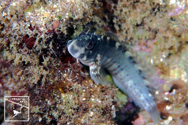 沖縄本島 タイドプール で撮影した ニセカエルウオ 雌 の 水中写真 (6cm SL)