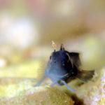 ニセカエルウオ 幼魚