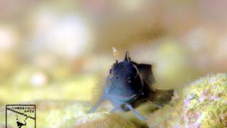 沖縄本島 タイドプール で撮影した ニセカエルウオ 幼魚 の 水中写真 ( 2cm SL )