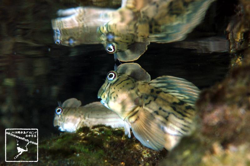 沖縄本島 タイドプール で撮影した センカエルウオ の 水中写真 ( 8cm SL )