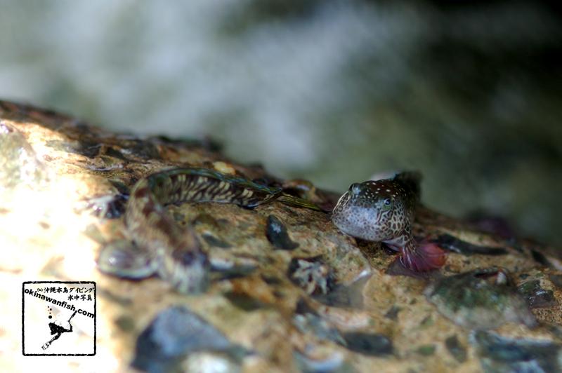 沖縄本島 タイドプール で撮影した ヨダレカケ ♀ の 水中写真 ( 8cm SL )