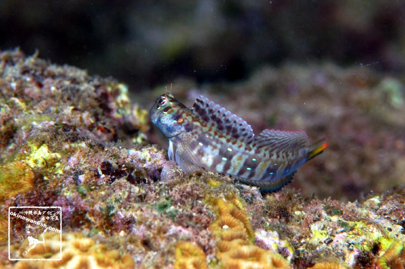 沖縄本島 タイドプール で撮影した ハナカエルウオ 婚姻色 の 水中写真 ( 8cm SL )