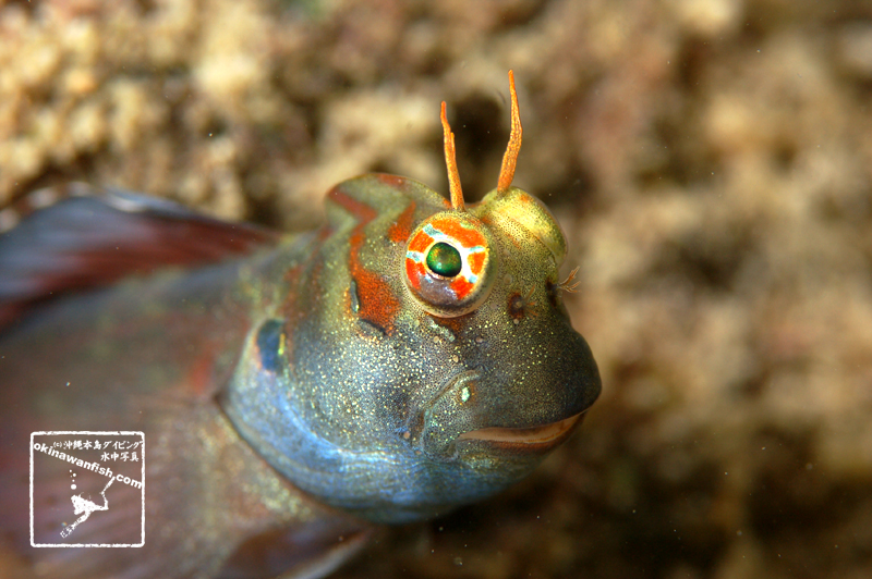 沖縄本島 タイドプール で撮影した ホホグロギンポ 雄 興奮色 の 水中写真 ( 8cm SL )