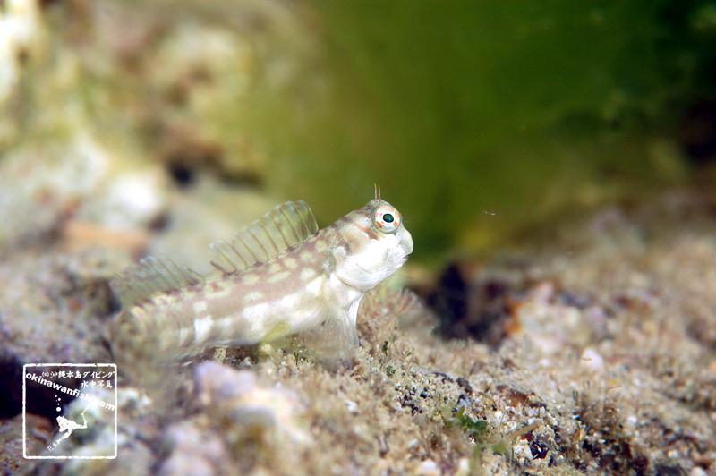 沖縄本島 タイドプール で撮影した ホホグロギンポ 幼魚 の 水中写真 ( 4cm SL )