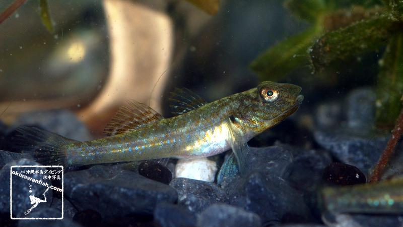沖縄本島の河川で採取した ゴクラクハゼ 幼魚 の水中写真