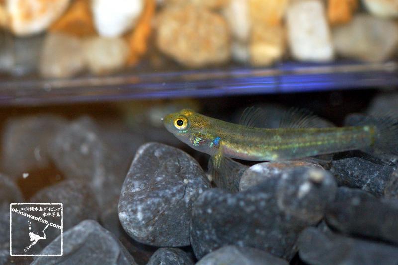 沖縄本島 河川 で撮影した キバラヨシノボリ 幼魚 の 水中写真