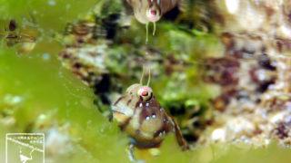 沖縄本島 タイドプール で撮影した ロウソクギンポ 水中写真